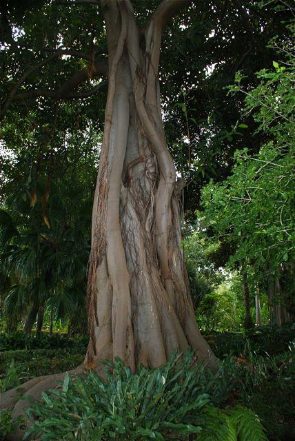 Enda et av de mange eksotiske eldgamle trær.