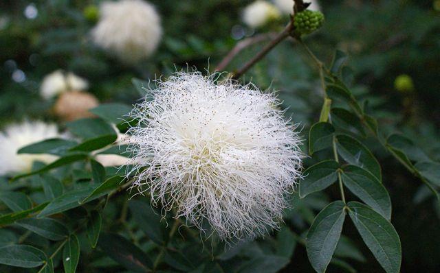 Hvit underlig plante.