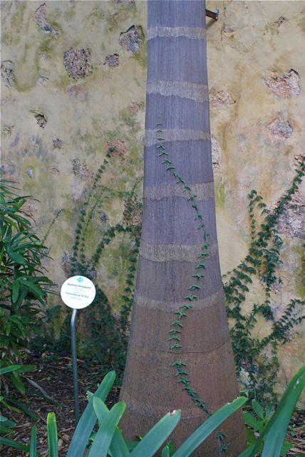 Palmestamme med eføy.