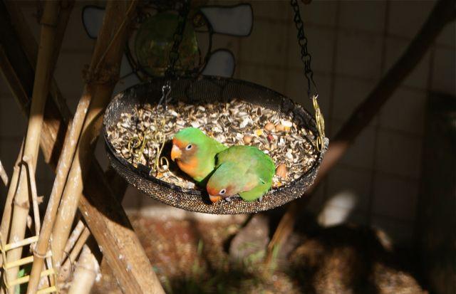 Kjærestefugler.