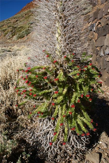 Blomster på Teide.
